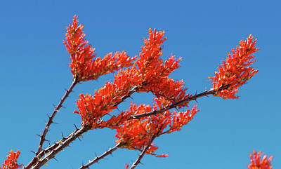 Photograph - Breezy Ocotillo Blooms by Bonnie Follett