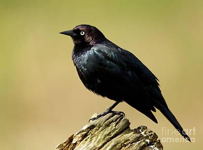Esquimalt Photograph - Brewers Blackbird Resting On Log by Sue Harper