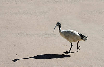 Photograph - Bribie Island Ibis by Susan Vineyard