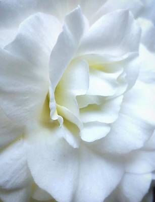 Photograph - Bridal Begonia by Steph Gabler