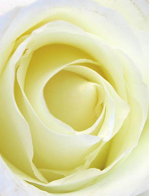 Photograph - Bridal Rose by Rose Cowperthwaite