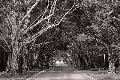 Photograph - Bridge Road Banyan Trees by Olga Hamilton