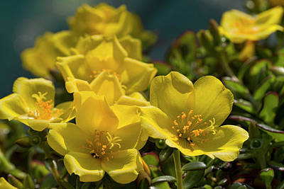 Photograph - Bright And Beautiful Purslane Blooms  by Kathy Clark