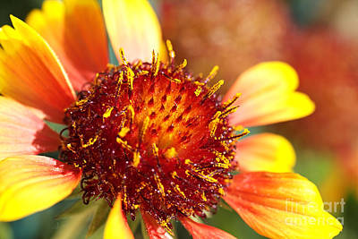Photograph - Bright And Sunny Blanket Flower by Joy Watson