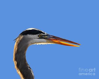 Gray Heron Photograph - Bright Beak Blue .png by Al Powell Photography USA