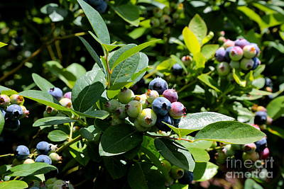 Photograph - Bright Blueberries by Carol Groenen