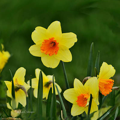 Photograph - Bright Daffodils by Kae Cheatham