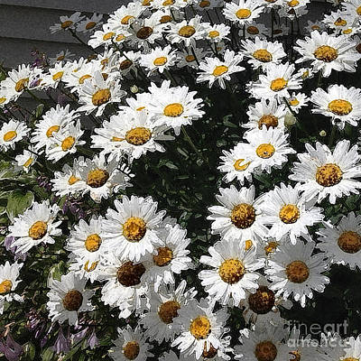 Photograph - Bright Daisy Faces In The Sun by Conni Schaftenaar