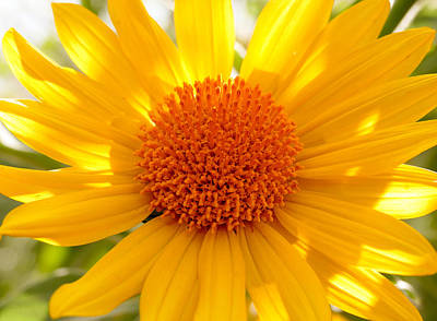 Photograph - Bright Desert Sunflower by Laurel Powell
