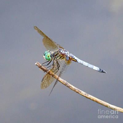 Photograph - Bright Dragonfly by Carol Groenen