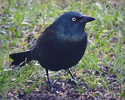 Photograph - Bright Eye Blackbird by Kathy M Krause