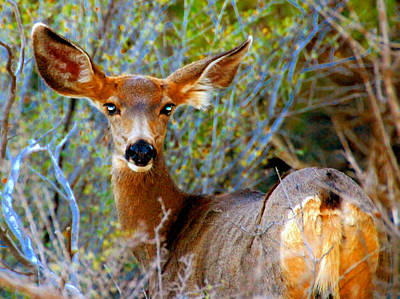 Photograph - Bright Eyes Mule Deer by David Lee Thompson