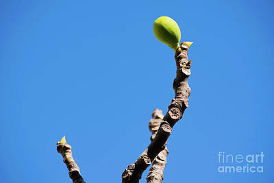 Photograph - Bright Fig Against The Sky. by Cesar Padilla