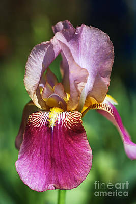Photograph - Bright Glowing Pink Iris by Joy Watson