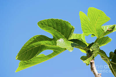 Photograph - Bright Green Fig Leaf Against The Sky by Cesar Padilla