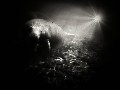 Photograph - Bright Light Manatee by Sheri McLeroy