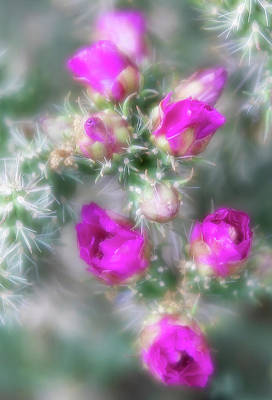 Photograph - Bright Magenta Cholla Cactus Flowers by Barbara Rogers Nature Inspired Art Photography