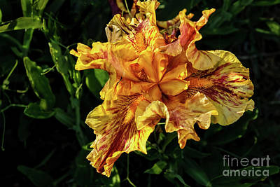 Photograph - Bright Multi Colored Iris by Robert Bales