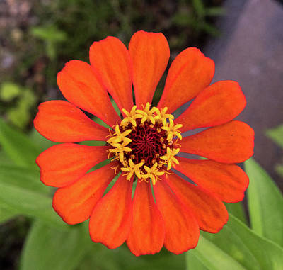 Photograph - Bright Orange Zennia 1 by Douglas Barnett