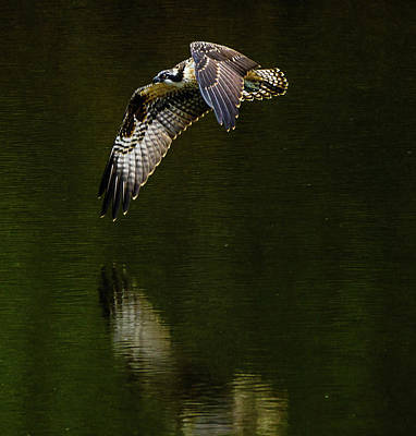 Photograph - Bright Osprey by Jerry Cahill