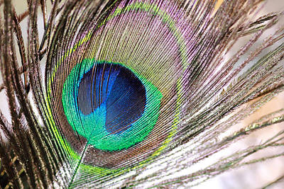Photograph - Bright Peacock Feather by Angela Murdock