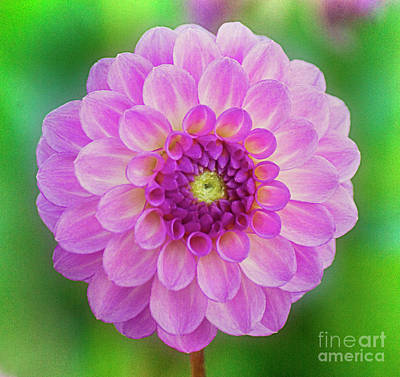 Photograph - Bright Pink And Green Dahlia by Jim And Emily Bush