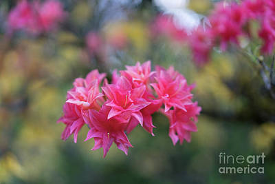 Photograph - Bright Pink Azaleas Cluster by Mike Reid