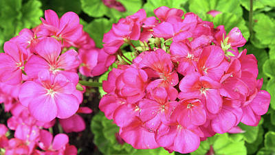 Photograph - Bright Pink Geraniums by Ellen Tully