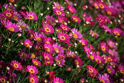 Photograph - Bright Pink Marguerite Daisies by Lynn Bauer