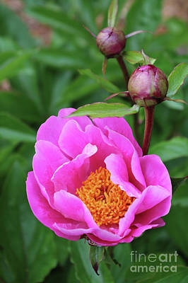 Photograph - Bright Pink Peony by Carol Groenen
