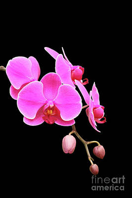 Petals Photograph - Bright Pink Phalaenopsis Orchid by Judy Whitton