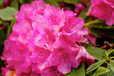 Photograph - Bright Pink Rhododendron by Teri Virbickis