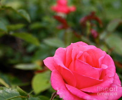 Photograph - Bright Pink Rose by Danielle Groenen
