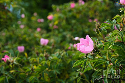 Photograph - Bright Pink Wild Rose by Kennerth and Birgitta Kullman