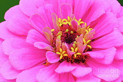 Royalty-Free and Rights-Managed Images - Bright Pink Zinnia by Regina Geoghan