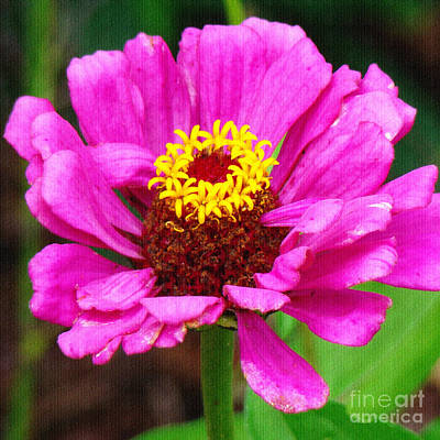 Photograph - Bright Pink Zinnia by Sue Melvin