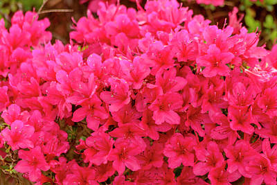 Photograph - Bright Red Azaleas by Teri Virbickis
