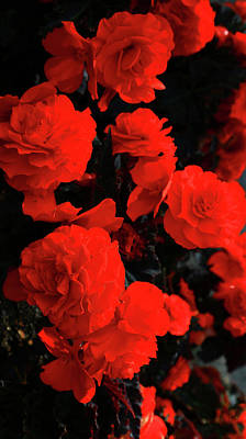 Photograph - Bright Red Begonias by Nareeta Martin