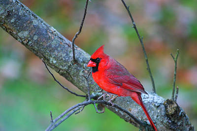 Photograph - Bright Red Cardinal by Karol Livote