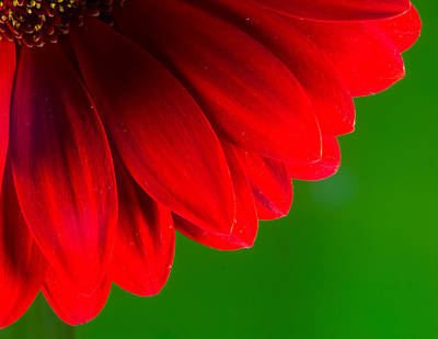 Bright Red Chrysanthemum Flower Petals And Stamen Art Print by John Williams
