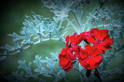 Photograph - Bright Red Flower Blossom Against A Background Of Light Blue Leaves by Randall Nyhof