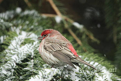 Photograph - Bright Red House Finch by Alyce Taylor