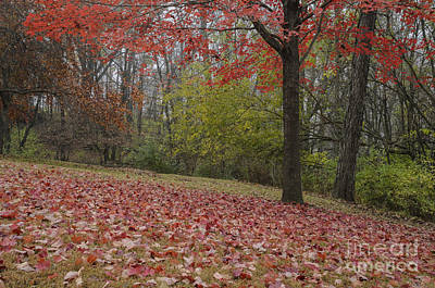 Photograph - Bright Red Maple Tree  by Tamara Becker