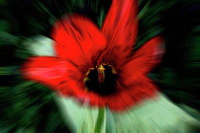 Photograph - Bright Red Pansy by Suzanne L Kish