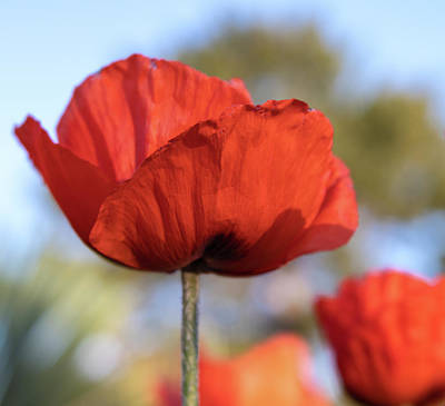 Photograph - Bright Red Poppy Flower With Soft Focus Background by Barbara Rogers Nature Inspired Art Photography