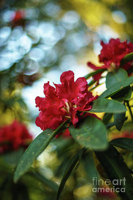 Photograph - Bright Red Rhododendron by Mike Reid