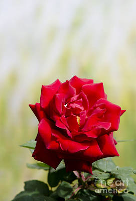 Bright Red Rose Art Print by Perry Van Munster