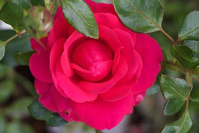High Iso Photograph - Bright Red Rose by Vitaliy Kolomiyets