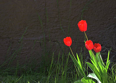 Photograph - Bright Red Tulips by Scott Carlton