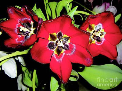 Photograph - Bright Red Tulips - Top View by Merton Allen